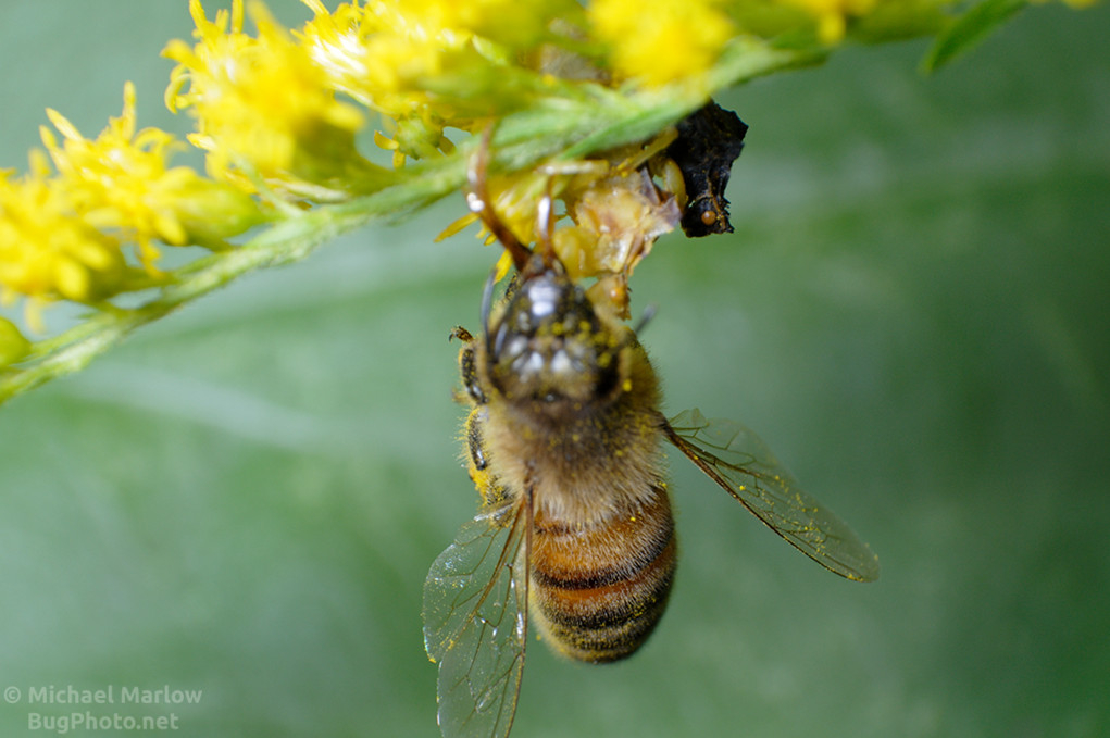 ambush bug mating with honey bee prey