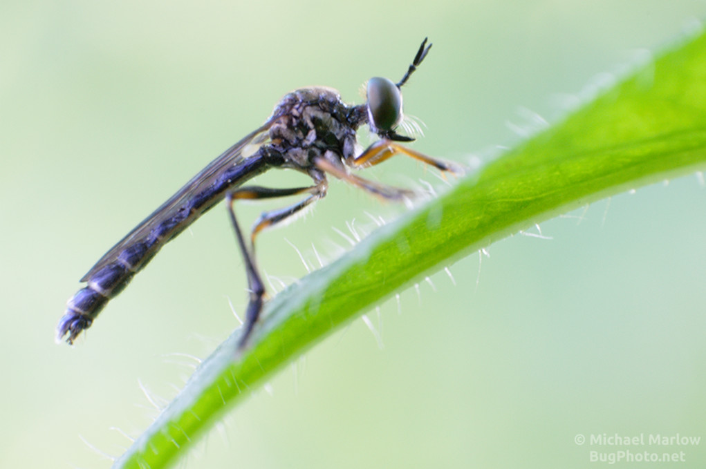 robber fly natural light