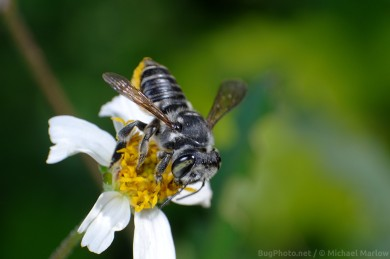 leafcutter_bee_signed_0778_FL1