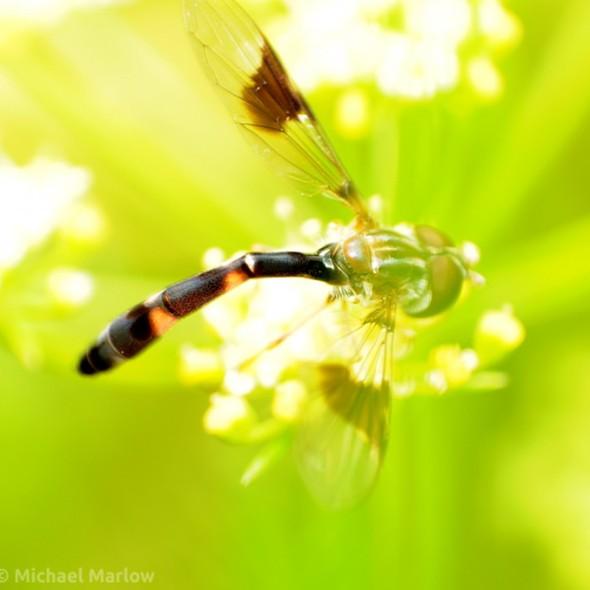 Ocyptamus fascipennis syrphid fly
