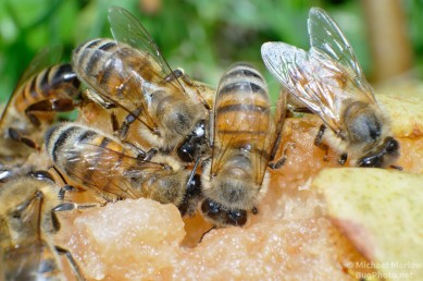 bees_pear_0326_BL4