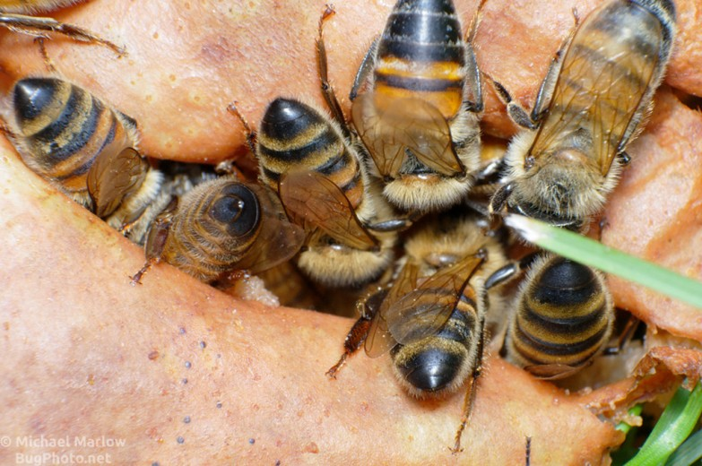 bees_pear_0407_BL4