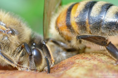 bees_pears_0417_BL4