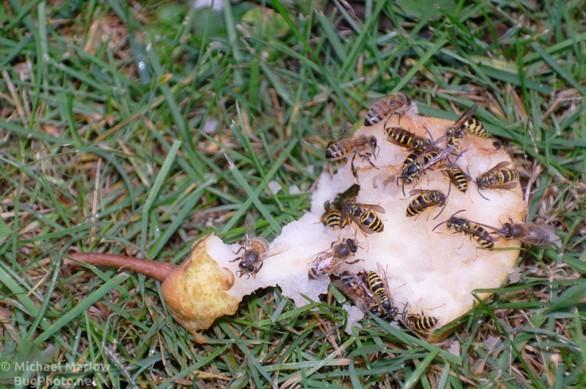 bees_wasps_pear_0223_BL4