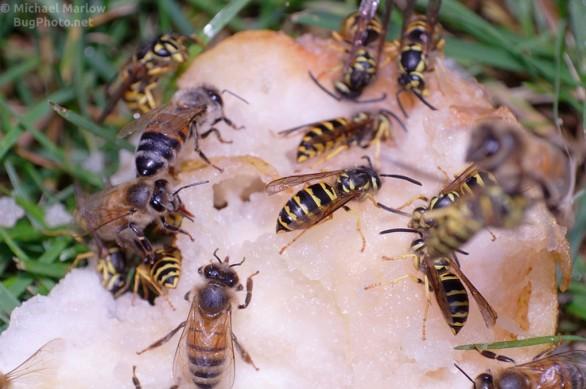 bees_wasps_pear_0227_BL4