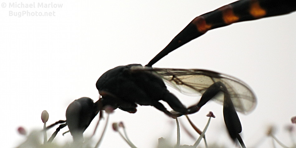 carrot wasp