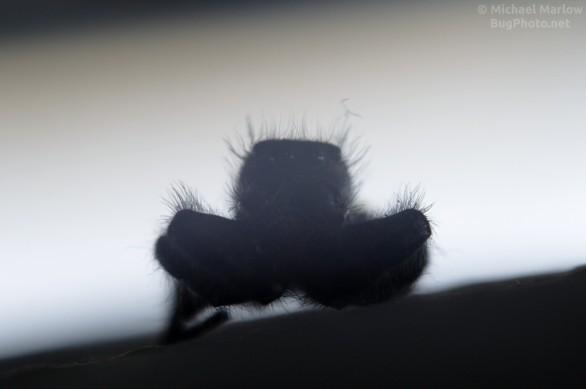 dead Phidippus audax jumping spider