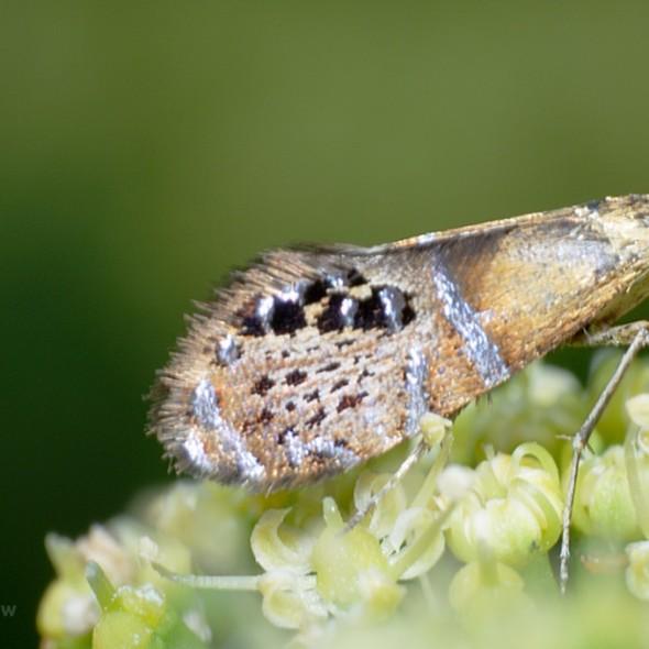Fairy Moth adela ridingsella
