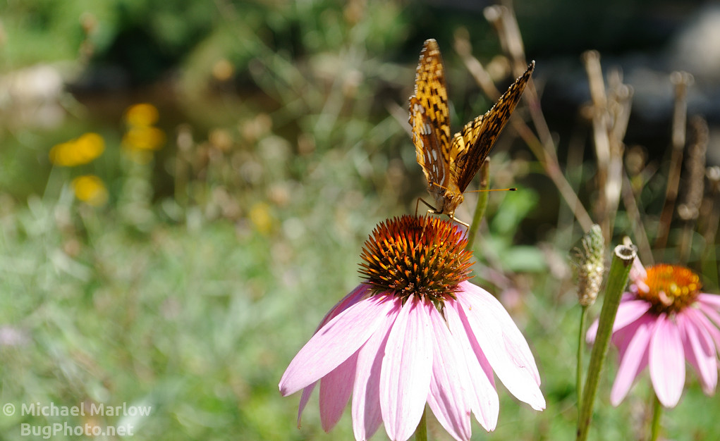 Fritillary butterfly on feeding on a cone flower