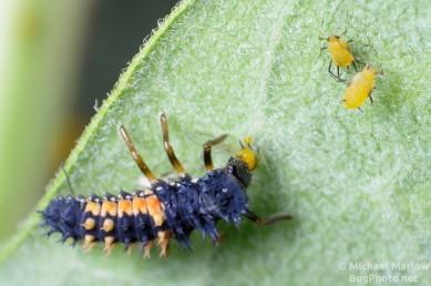 ladybug larva eating aphid