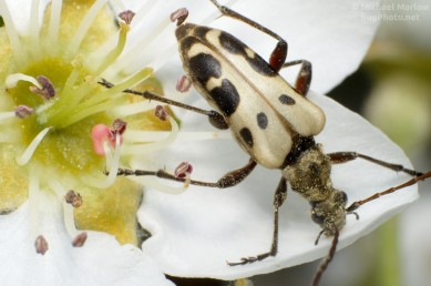 Flower Longhorn - Evodinus monticola
