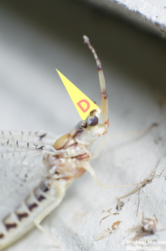 mayfly hexagenia with dunce cap