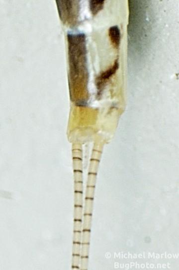 hexagenia mayfly vestigial filament