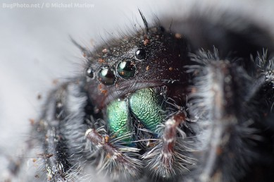 Potrait Phidippus audax covered with coffee grounds