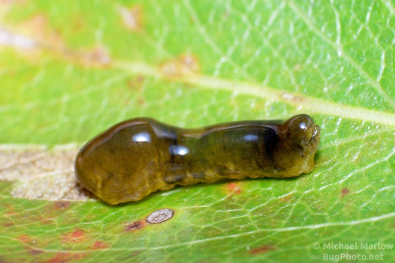 Caliroa cerasi - Pear slug