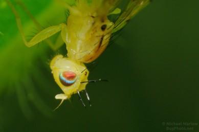 Sunflower Maggot Fruit Fly