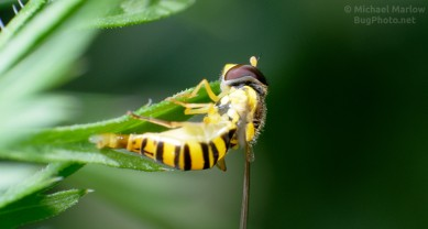 Syrphid fly laying egg