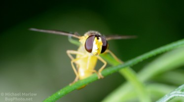 Syrphid Fly laying an Egg