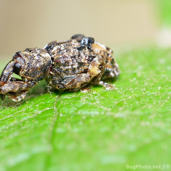 possible butternut weevil