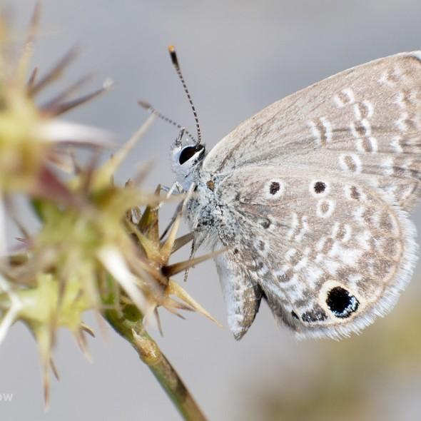 Hemiargus ceraunus butterfly resting on sand spurs