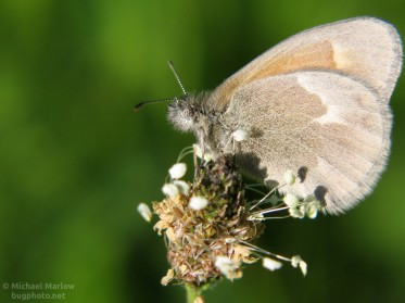 Common Ringlet Butterfly perched on a plantain