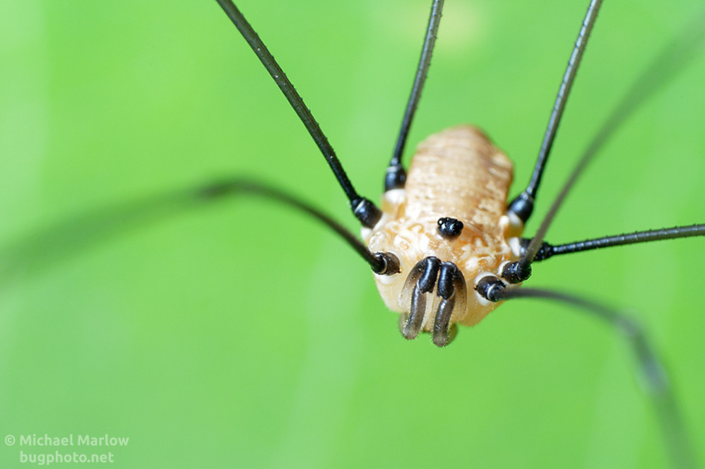 harvestmen portrait