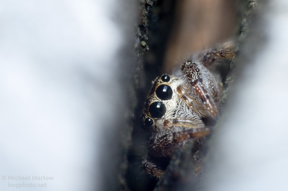 Jumping Spider with odd reflection in the eyes