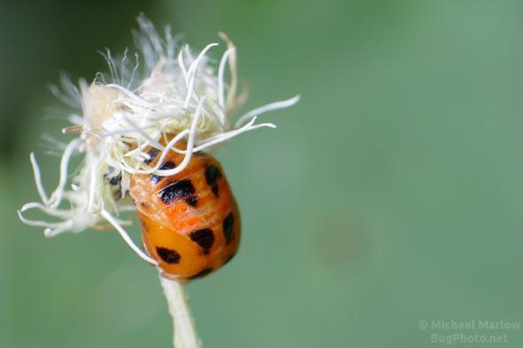 ladybird beetle pupa