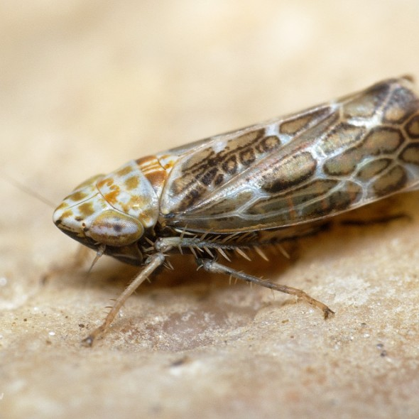 brown leafhopper