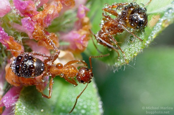 morning dew on ants