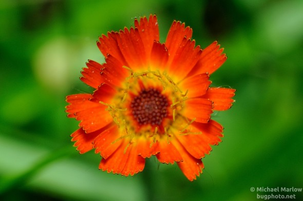small orange wildlfower