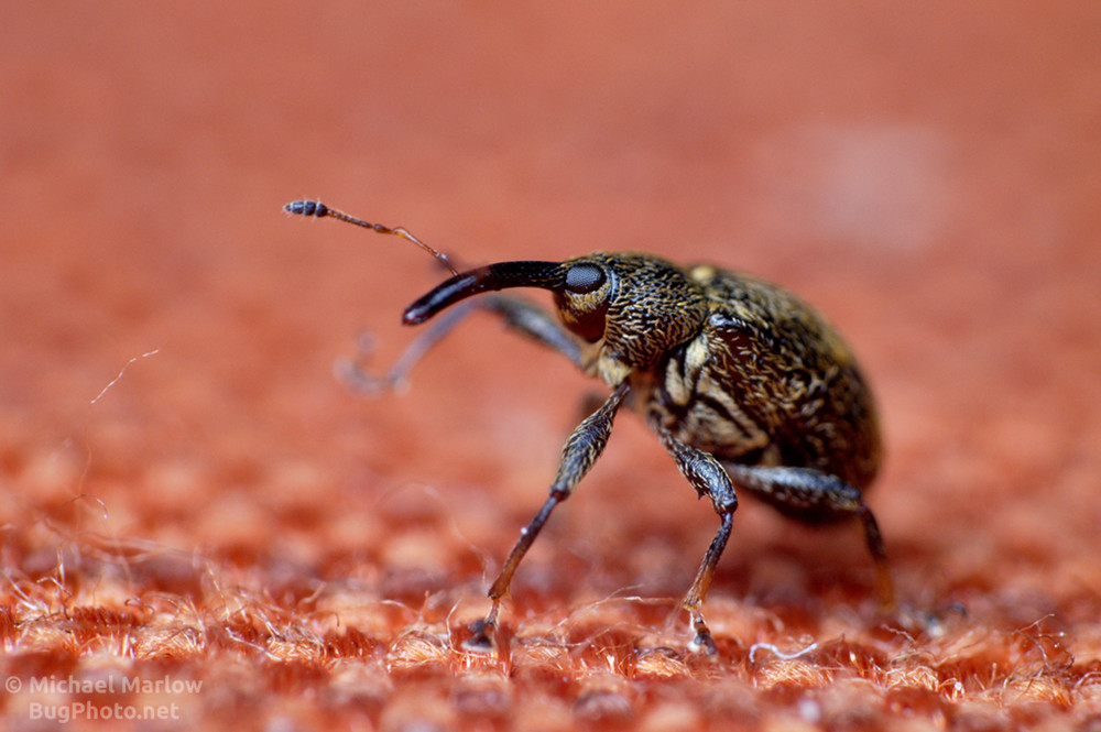 pepper weevil on tablecloth