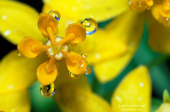 raindrop refractions on butterfly weed flower