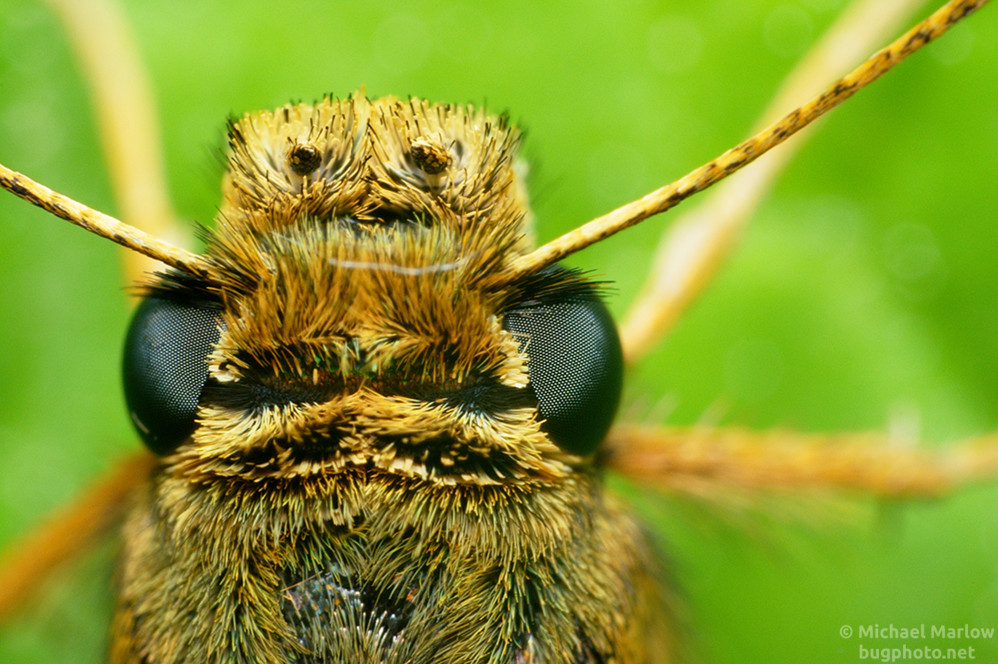 super close up of of skipper's hairy head and dark compound eye/
