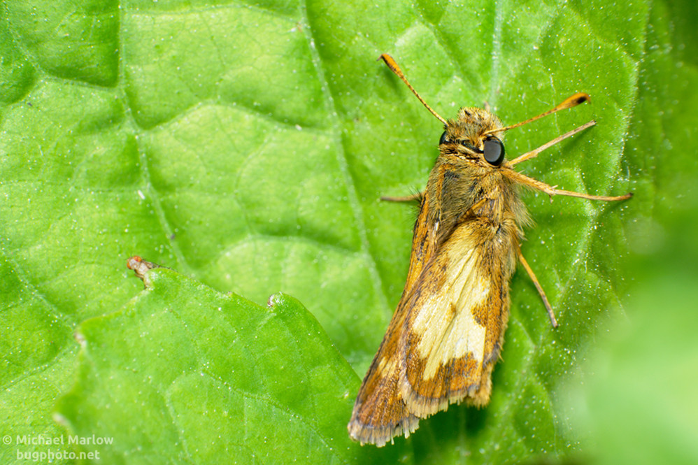 A skipper at rest on leaves while a tiny fly peaks out from a leaf facing the camera.