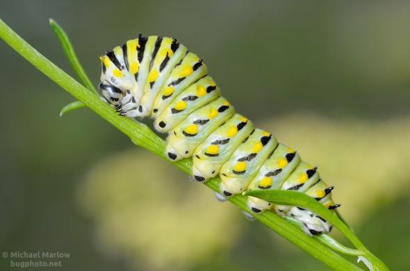 black swallowtail caterpillar on parsley stem