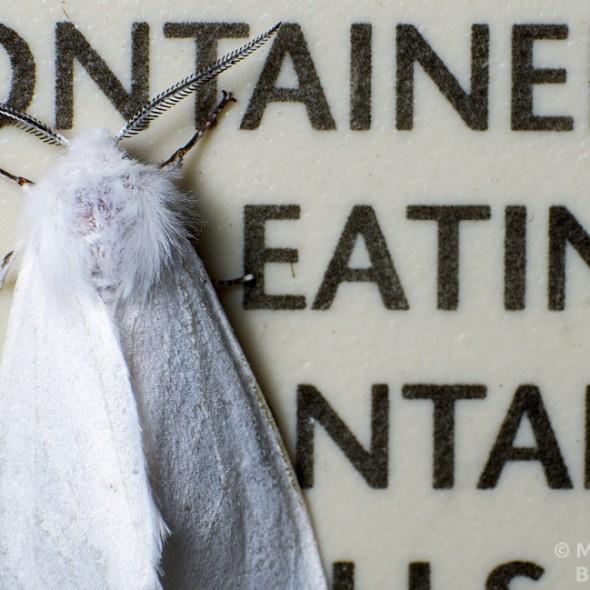 tiger moth resting on sign
