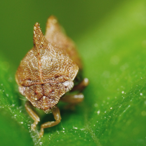 treehopper front-facing view