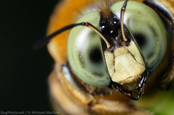 male carpenter bee portrait