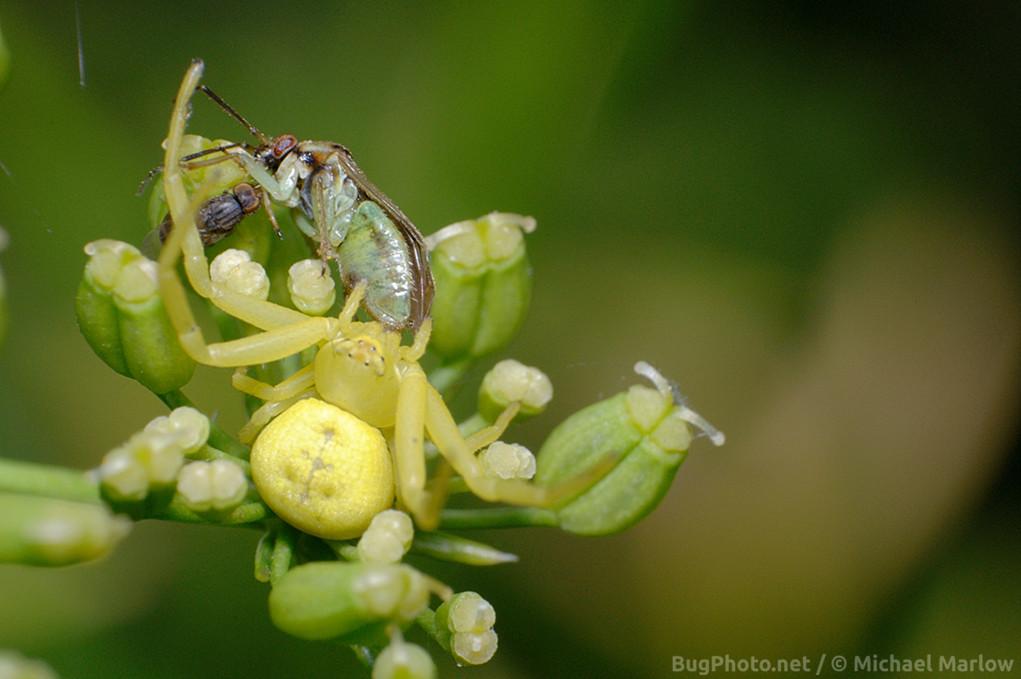 Crab spider with Mirid plant bug prey