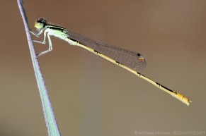 Ischnura hastata Citrine Forktail male