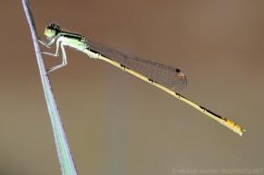 Ischnura hastata Citrine Forktail male