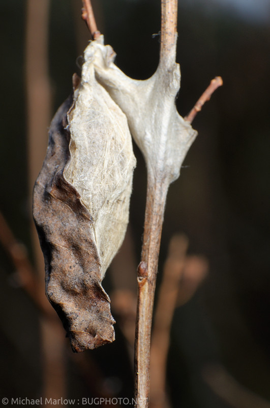 insect cocoon