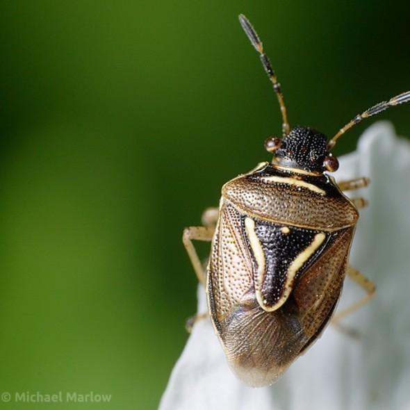 Mormidea lugens Stink Bug