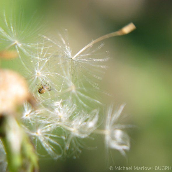 small orbweaver in dandelion seeds