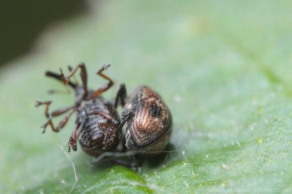tumbling mating weevils