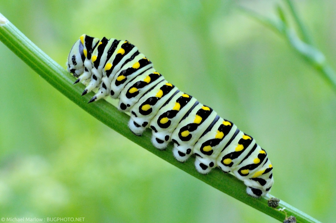 black swallowtail caterpillar on parsley stem