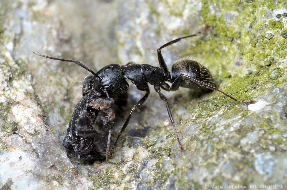 carpenter ant carrying refuse, possibly spider remnant