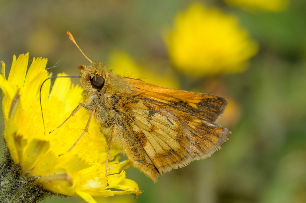 skipper on dandelion