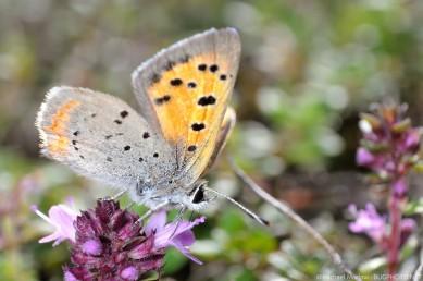 little copper butterfly feeding on wild thyme